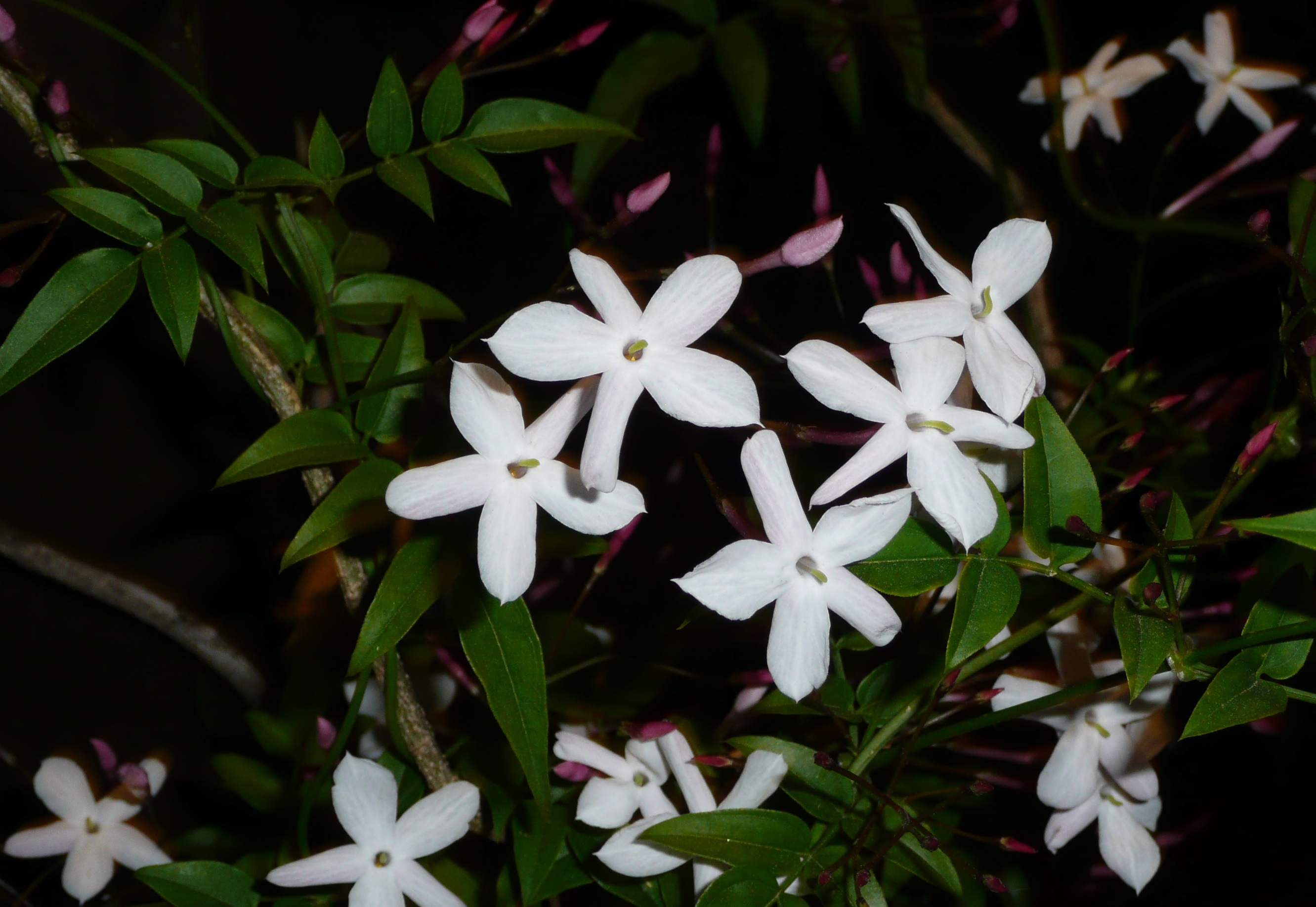 Drift off and smell the jasmine privilegeofparentings blog night blooming jasmine izmirmasajfo Image collections
