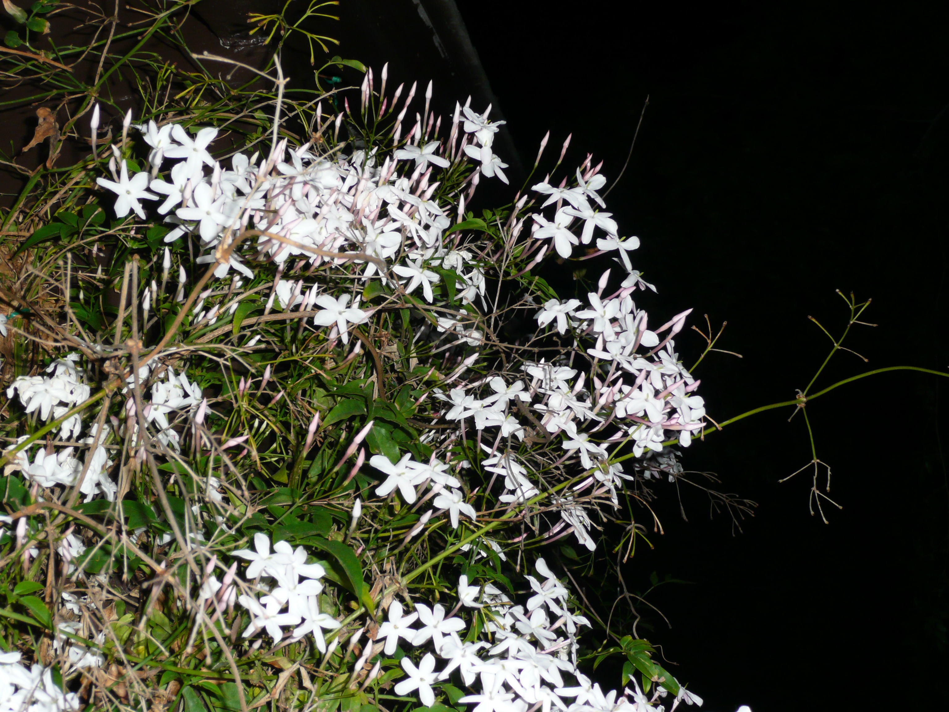 Drift off and smell the jasmine privilegeofparentings blog we izmirmasajfo Image collections